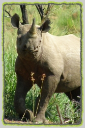 Rhino Species of the World. Endangered Species of Rhinosceros.